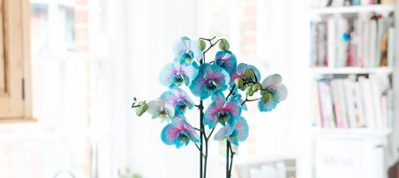 *Christmas prize draw* Pink & Blue Wonder Orchid from Blossoming Gifts
